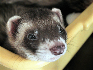 Ferret fun facts