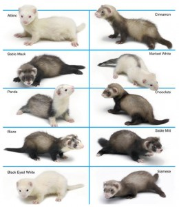 Ferret Colors