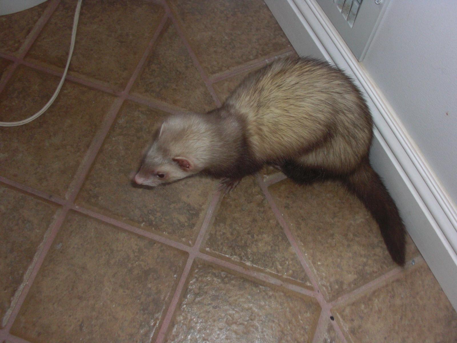 Ferret Newt