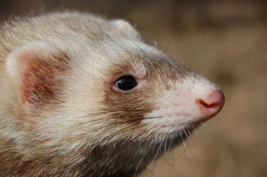 Lymphoma in Ferrets – What to Do?