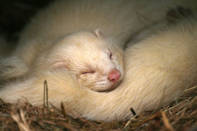 Treating Adrenal Disease in Ferrets