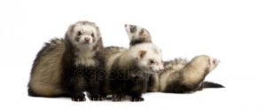 Ferret group